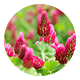 クローバーの花画像