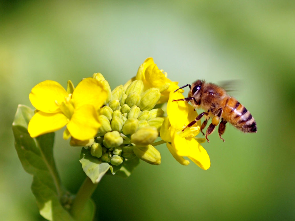 ミツバチの生誕から結婚までについて