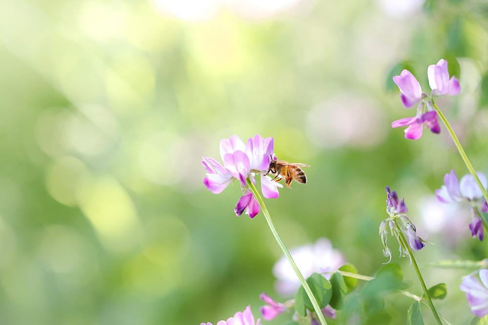 レンゲ花はちみつと美味しい食べ方や特徴